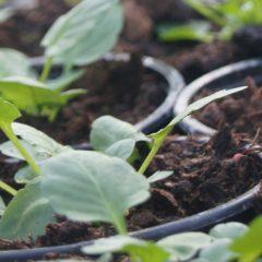 Urban Gardening für Anfänger – Wintergemüse anziehen